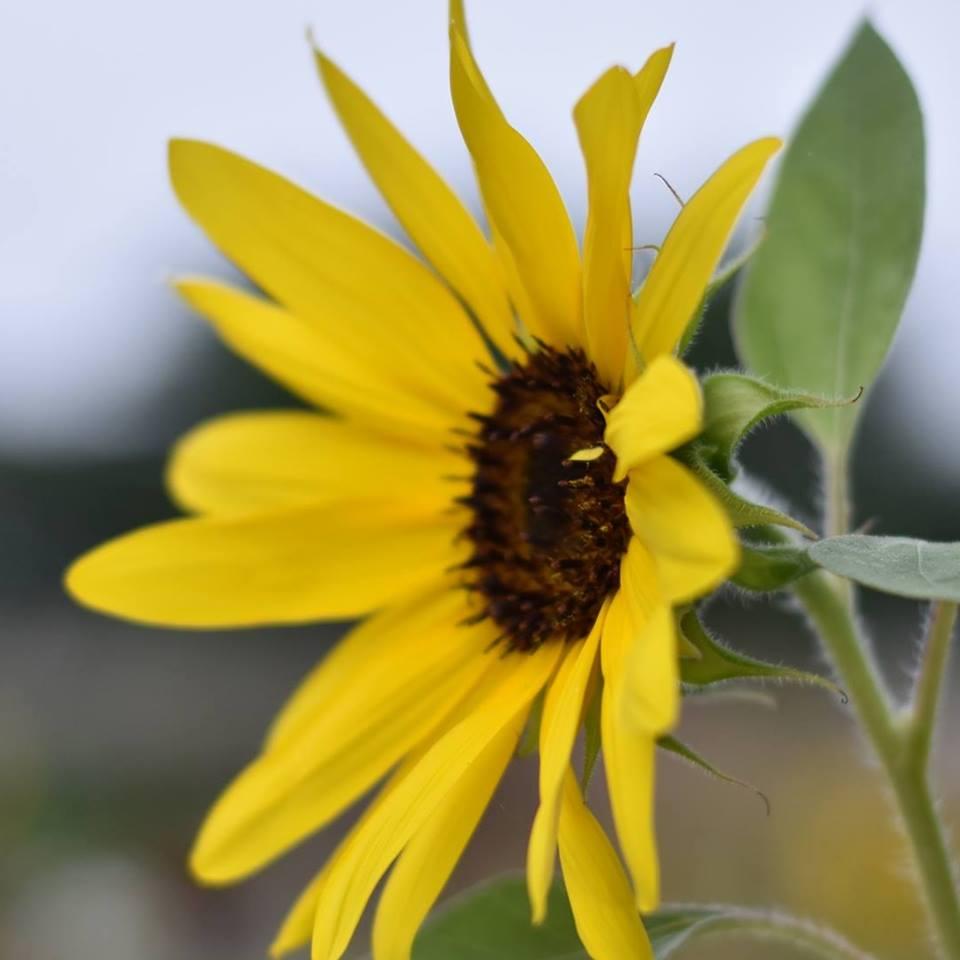 Image of a single daisy