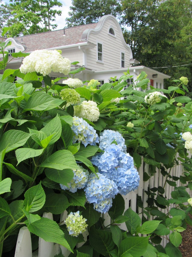 Image of South County Blue Hydrangeas