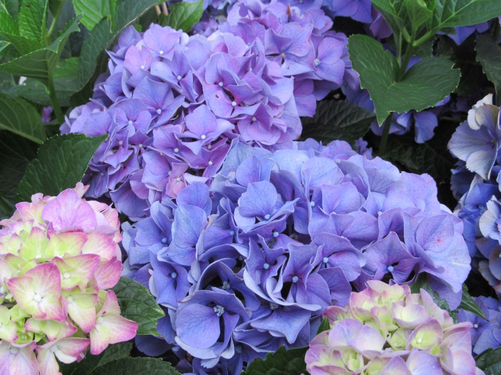 Image of Pink, Blue & Purple Hydrangeas