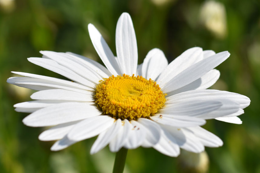 Image of White Daisy Close-up